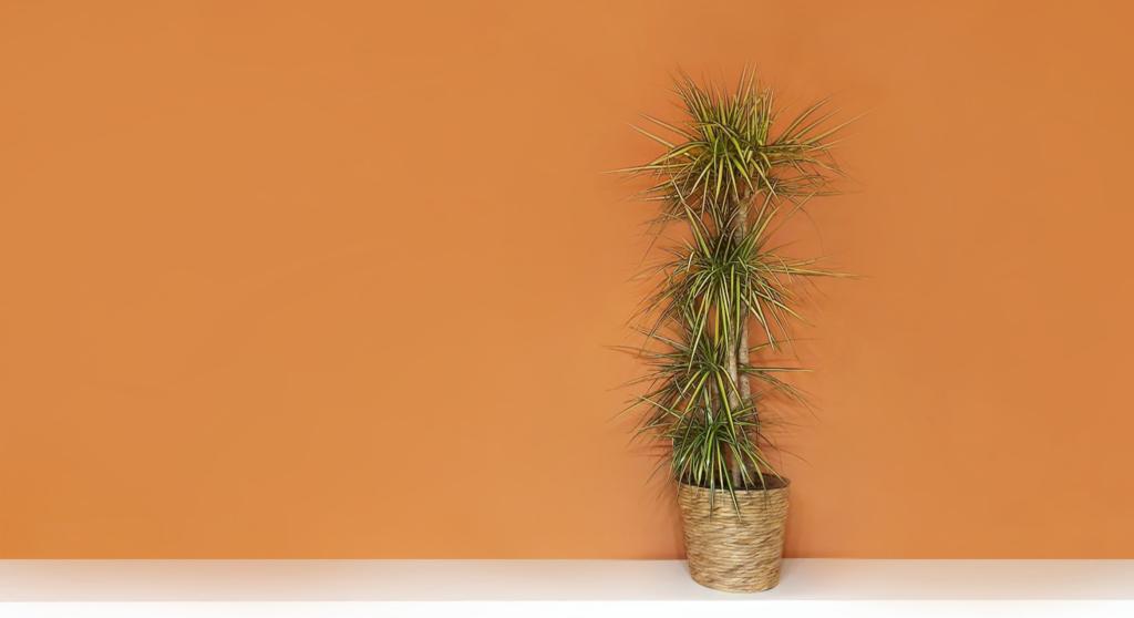 Der Drachenbaum ist eine luftreinigende Pflanze.