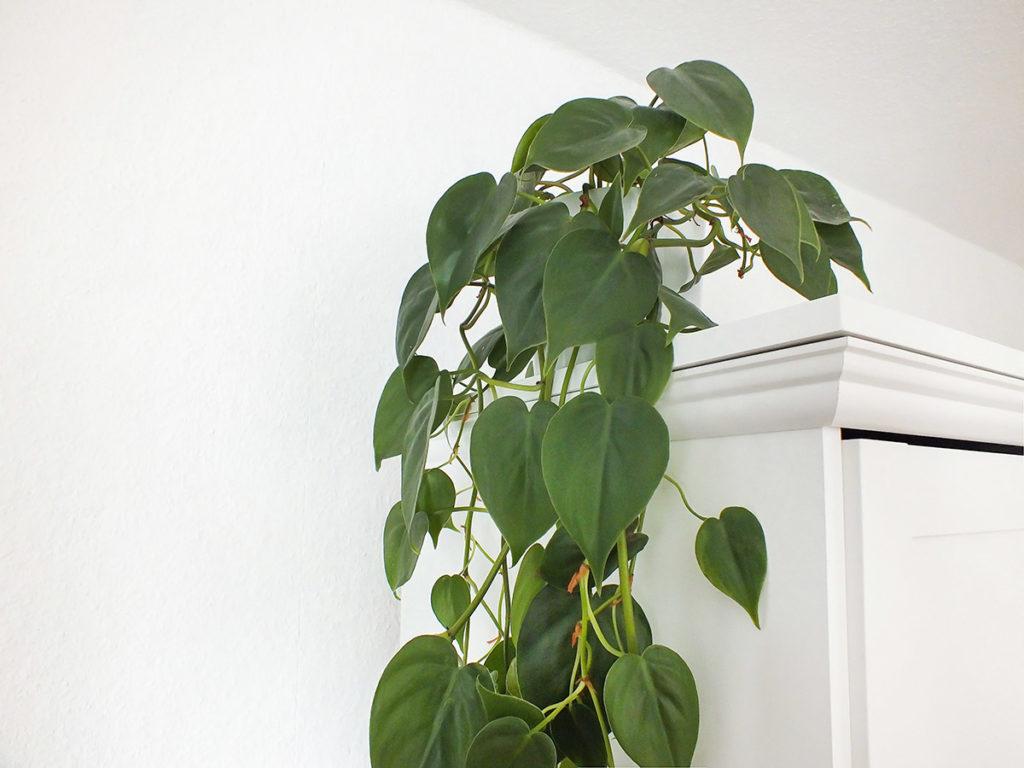 Luftreinigende Pflanzen: Die Efeutute