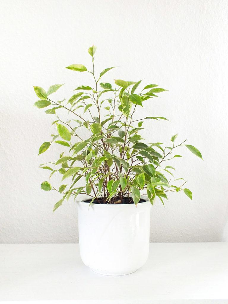 Luftreinigende Pflanzen - Birkenfeige