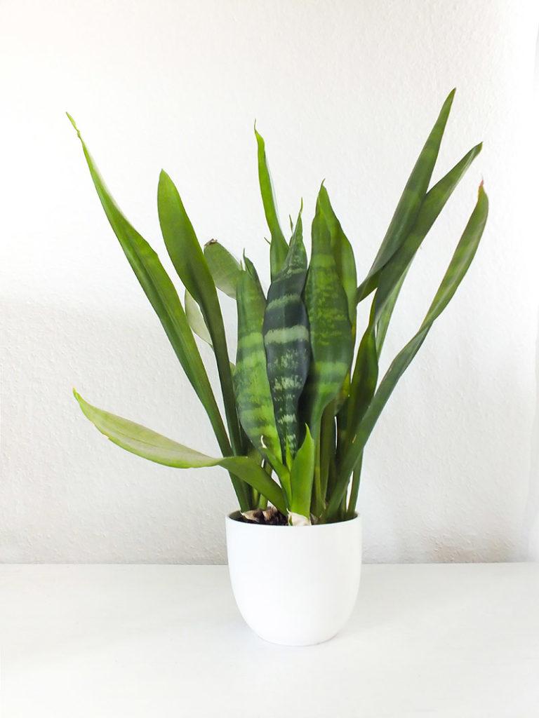 Luftreinigende Pflanzen - Bogenhanf
