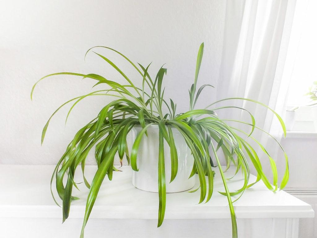Luftreinigende Pflanzen - Grünlilie